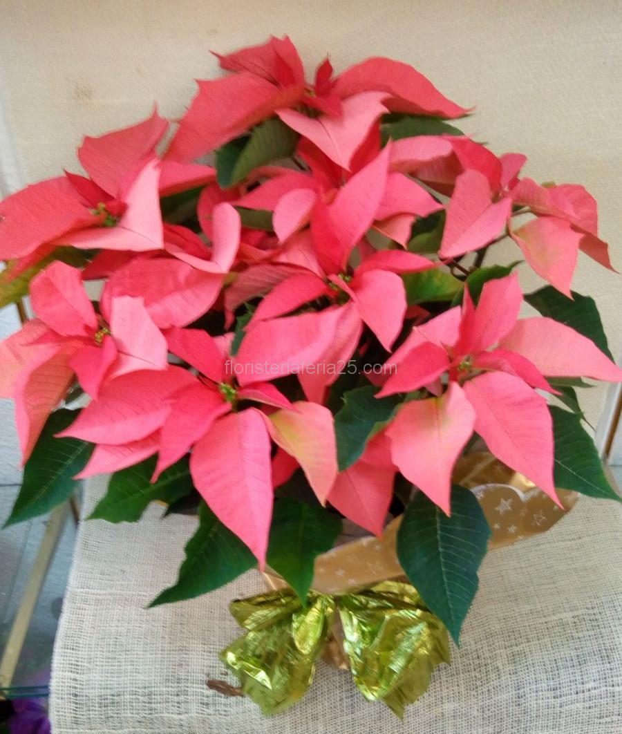 Cuidados de la planta de pascua top aunque no se conoce - Flor de pascua cuidados ...